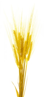 Yellow barley ears (dried). isolated on white background.