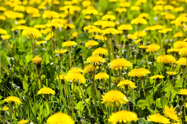 Yellow beautiful dandelions in the field with green grass in the spring field