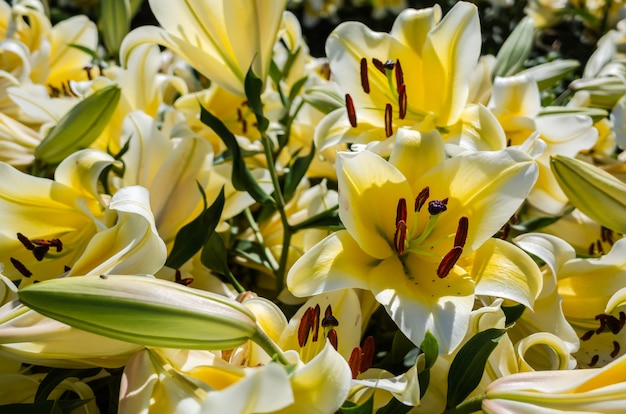 Желтые цветы лилии красоты в дневное время на улице