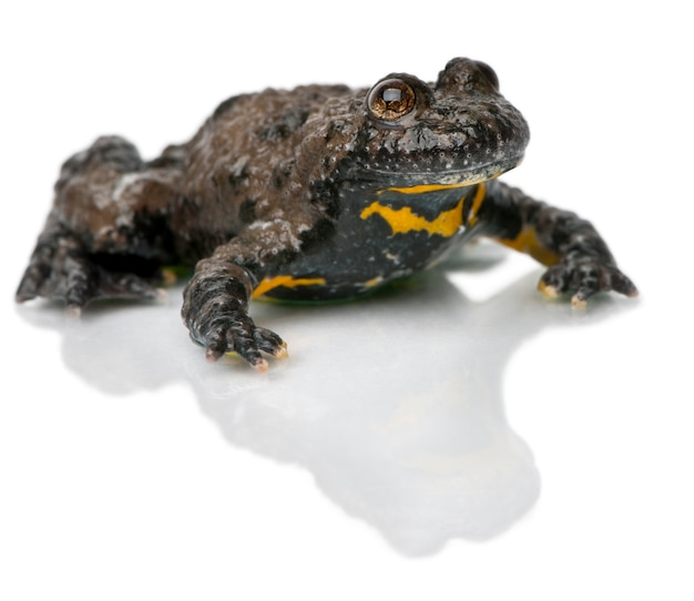Yellow-bellied toad bombina variegata in front of white background