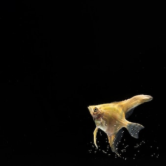 Yellow betta fish with copy space