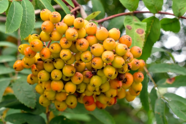 Yellow big clusters of a mountain ash in garden. autumn harvest of berries.