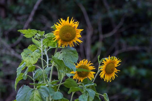 Yellow big sunflower in bloom