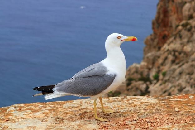 Yellow bill seagull posing in rocky sea mountain