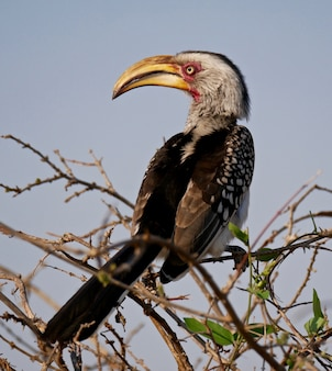 Yellow billed hornbill in kruger national park