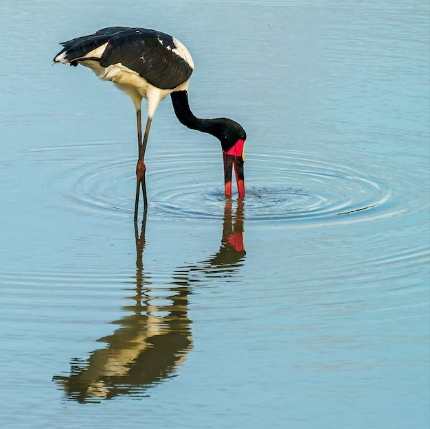 Yellow billed stork feeding and reflecting in the water