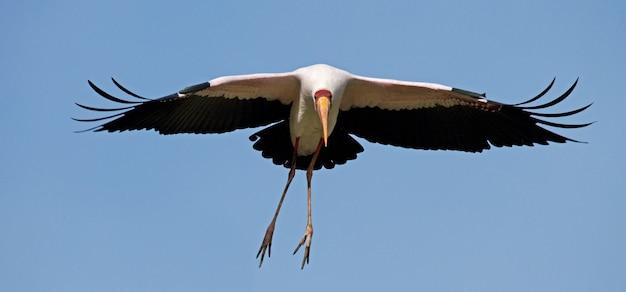 飛行中のアフリカトキコウ