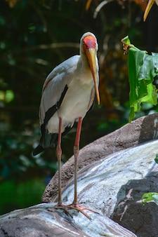 Yellow billed stork standing on stone