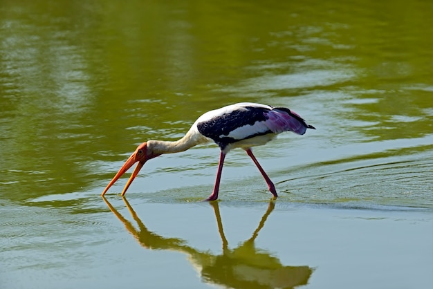 Yellow-billed stork in the wild on the island of sri lanka