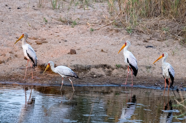 Yellow billed storks looking for food