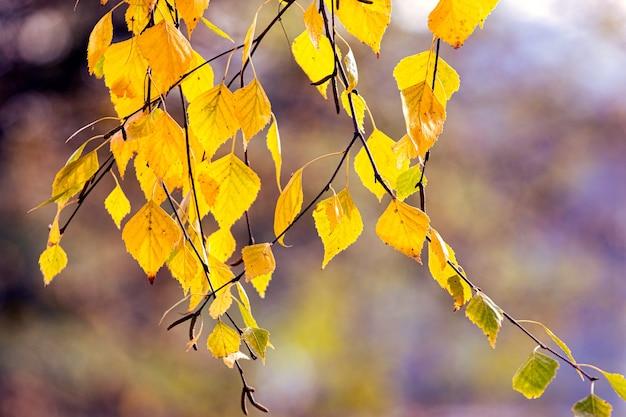 Желтая ветка березы на размытом фоне в солнечную погоду