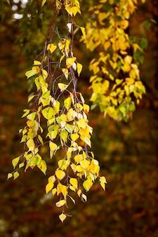 Желтые листья березы, осень теплые тона