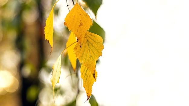 明るい背景に黄色の白樺の葉。白樺の葉と秋の背景