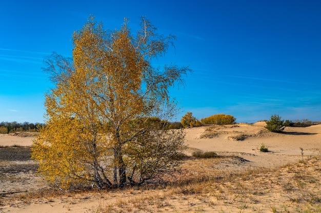秋の半砂漠の黄色い白樺の木