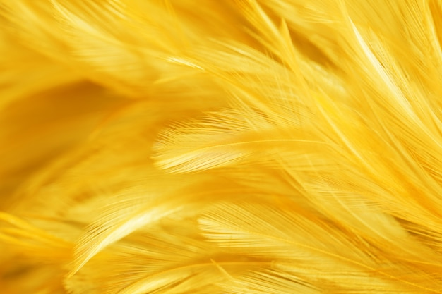 Yellow bird and chicken feathers in soft and blur style  the background