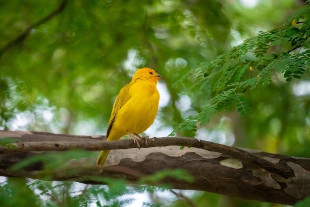 Желтая птица стоит на дереве