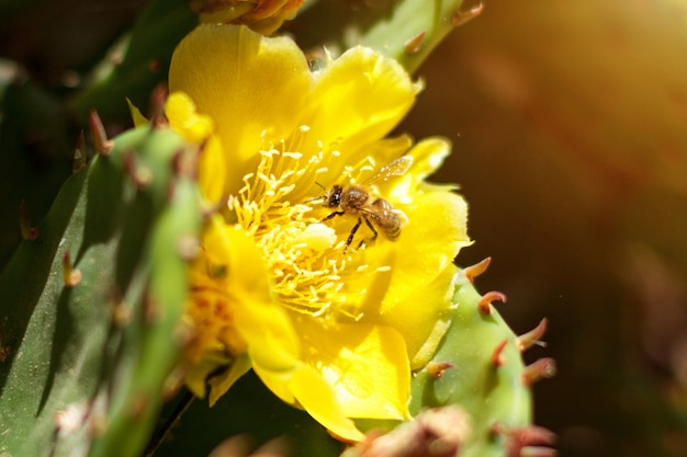 Yellow blooming cactus with a bee outside on a sunny day
