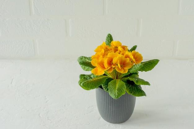 Желтые цветущие примулы или примулы в цветочном горшке на белом фоне. домашнее садоводство.
