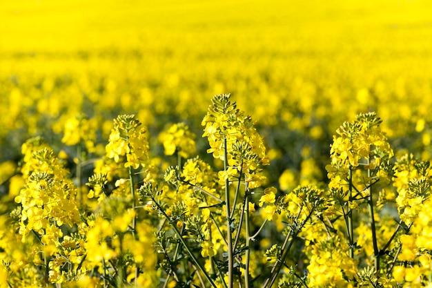 Желтые цветущие цветы рапса в весенний сезон, крупный план