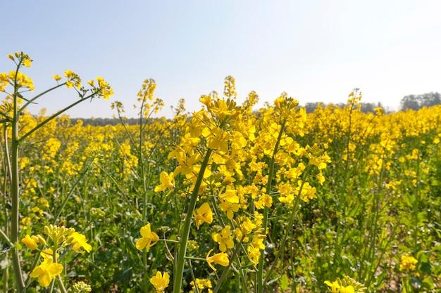 Желтый цветущий рапс в весенний сезон