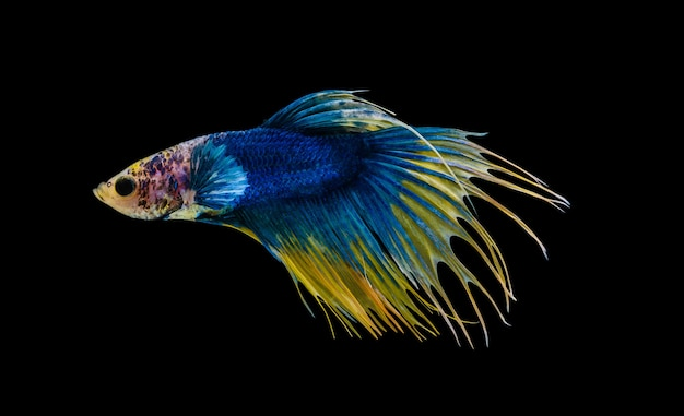 Yellow and blue crowntail betta fighting fish motion isolated on black background