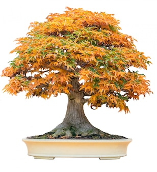 Yellow bonsai maple tree acer palmatum bonsai tree of trident maple in autumn
