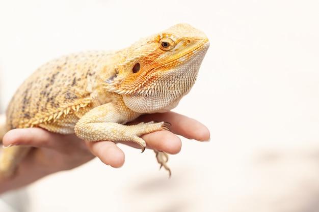 Yellow bright colorful iguana lizard