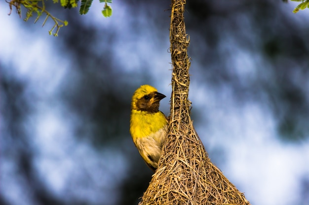 The yellow-browed sparrow standing firmly on its nest under the tree in its natural habitat