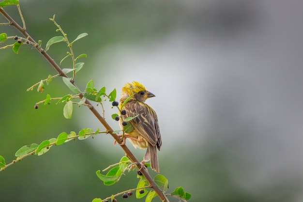 Yellow-browed sparrow on the tree branch in a soft blurry backgroun