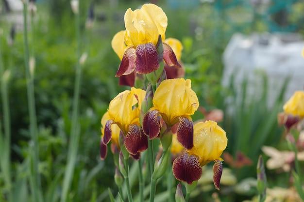 황갈색 아이리스는 외부에서 자랍니다. 비가 와요. 정원 꽃
