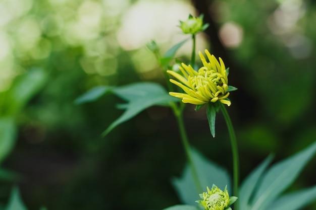 オオハンゴンソウの黄色い芽