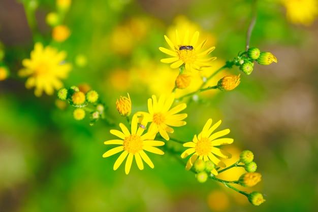 초원과 여름날에 노란 미나리 꽃. 꽃에 곤충과 함께.