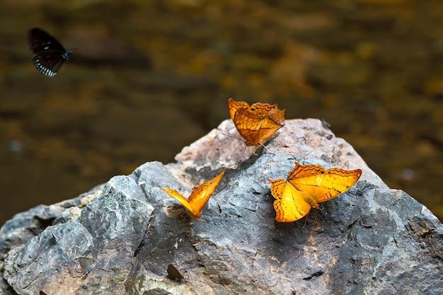 Желтые бабочки на скале в лесу.