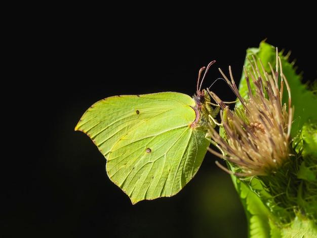 노란 나비 (gonepteryx rhamni) 꽃에 앉아