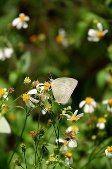 Желтая бабочка зовут лимонный эмигрант (catopsilia pomona)
