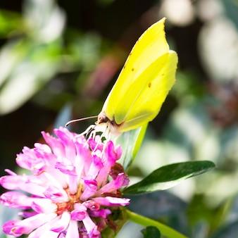 ピンクのクローバーの花、夏と春の背景に黄色の蝶