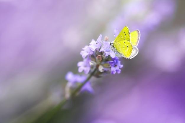 Желтая бабочка на цветущем макросе крупным планом цветок лаванды