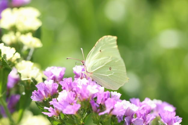 Yellow butterfly sitting on purple statice flower in garden closeup background environmental