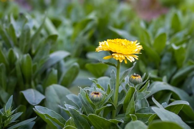 집 정원에서 나무에 피는 꽃 봉오리와 노란 금송화 꽃