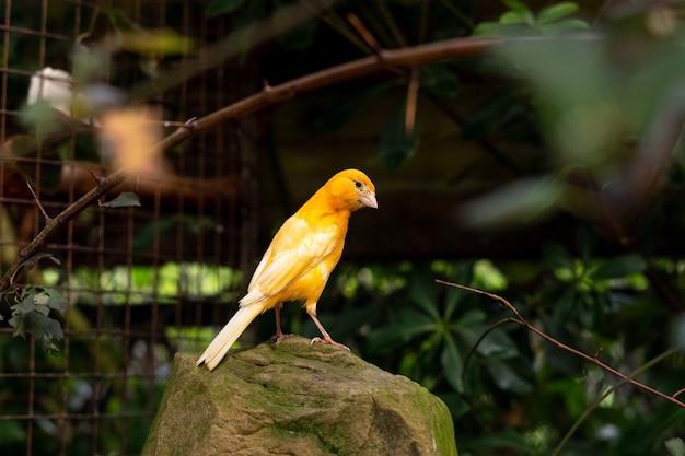 Желтая канарейка сидит на камне на открытом воздухе между ветвями деревьев и зелеными листьями