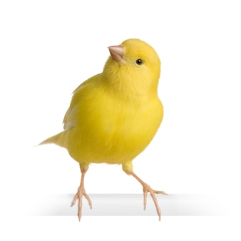Yellow canary - serinus canaria on its perch isolated