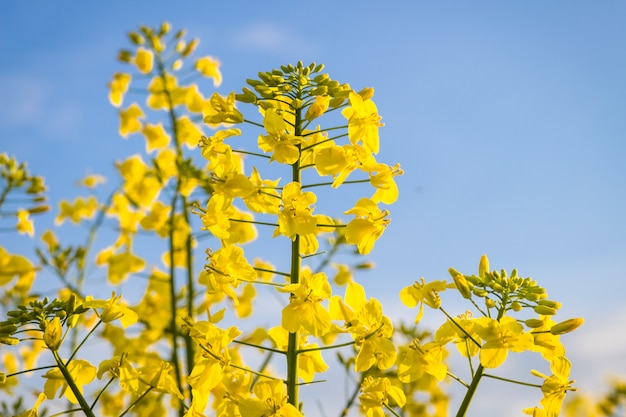 Yellow  canola flower in summer