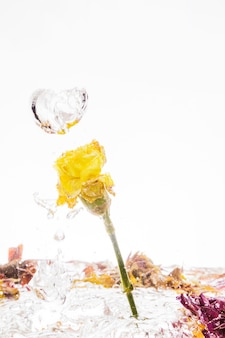 Yellow carnation falling into water