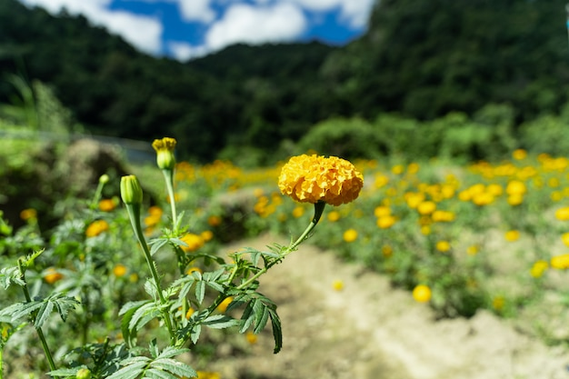 Yellow carnation in a field of carnations broken by a sandy path