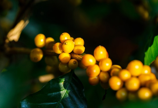 태국 북쪽의 나무에 숙성 노란색 catimor 커피 콩