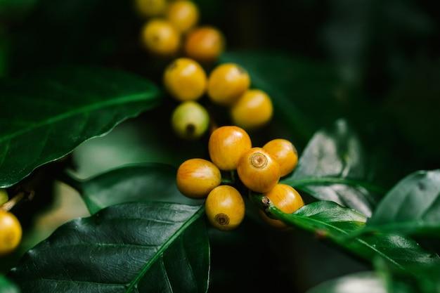 태국 북부의 나무에 숙성하는 노란색 catimor 커피 콩