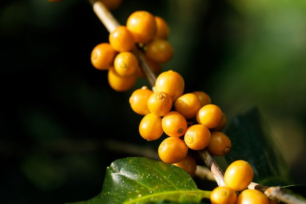 Yellow catimor coffee beans ripening on tree in north of thailand
