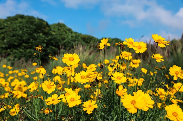 Yellow chamomile flowers on meadow