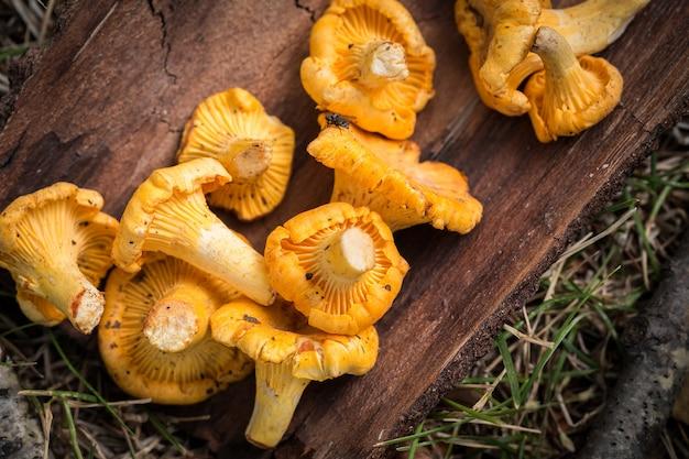 Yellow chanterelle mushrooms on  . gourmet food