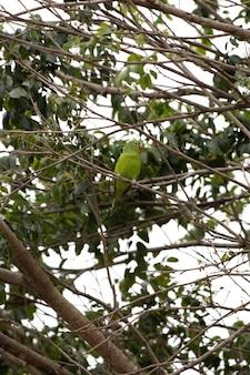 Yellow chevroned parakeet of the species brotogeris chiriri